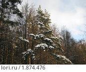 Снежные сосны. Стоковое фото, фотограф Татьяна Гомонова / Фотобанк Лори