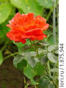 Купить «Красная роза», фото № 1875944, снято 31 июля 2010 г. (c) Наталия Ефимова / Фотобанк Лори