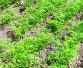 Зеленая ботва моркови на грядке, фото № 1876300, снято 17 июня 2010 г. (c) Юлия Селезнева / Фотобанк Лори