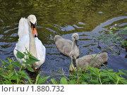Лебедята. Стоковое фото, фотограф Александр Верещак / Фотобанк Лори
