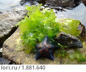 Морская звезда. Стоковое фото, фотограф Ольга Титова / Фотобанк Лори