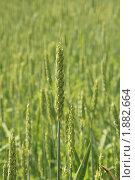 Зеленые колосья пшеницы. Стоковое фото, фотограф Алина / Фотобанк Лори