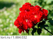 Цветение куста розы. Стоковое фото, фотограф Адаменко Оскар / Фотобанк Лори