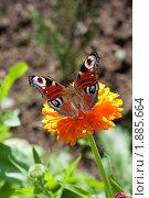 Купить «Бабочка Павлиний глаз на цветке календулы», фото № 1885664, снято 3 августа 2010 г. (c) Катерина Макарова / Фотобанк Лори