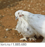 Купить «Кучерявые голуби», эксклюзивное фото № 1885680, снято 10 июля 2010 г. (c) Алёшина Оксана / Фотобанк Лори