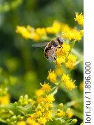 Купить «Насекомое на цветах золотарника», фото № 1896000, снято 6 августа 2010 г. (c) Катерина Макарова / Фотобанк Лори