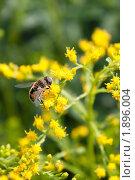 Купить «Насекомое на цветах золотарника», фото № 1896004, снято 6 августа 2010 г. (c) Катерина Макарова / Фотобанк Лори