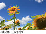 Подсолнухи. Стоковое фото, фотограф Александра Александрова / Фотобанк Лори