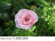 Розы судака. Стоковое фото, фотограф лекомцев владимир спиридонович / Фотобанк Лори