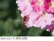 Купить «Насекомое на цветах вербены», эксклюзивное фото № 1900680, снято 24 июля 2010 г. (c) Шичкина Антонина / Фотобанк Лори