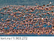 Взлёт стаи розовых фламинго над озером, дикая природа Африки, Кения, фото № 1903272, снято 12 июля 2010 г. (c) Роман Мурушкин / Фотобанк Лори