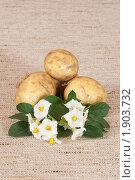 Купить «Цветы и клубни картофеля на мешковине», эксклюзивное фото № 1903732, снято 22 июля 2010 г. (c) Шичкина Антонина / Фотобанк Лори