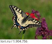 Купить «Бабочка Махаон (Papilio machaon)», фото № 1904756, снято 15 августа 2010 г. (c) Андрей Голубев / Фотобанк Лори
