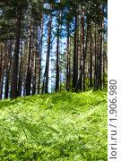 Купить «Сосновый бор. Заросли папоротника», фото № 1906980, снято 13 июня 2010 г. (c) Сергей Болоткин / Фотобанк Лори