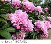 Купить «Кусты розовых пионов в саду», фото № 1907420, снято 5 июня 2010 г. (c) Минакова Татьяна / Фотобанк Лори