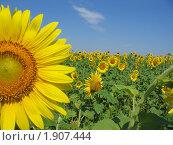 Купить «Подсолнух в поле», фото № 1907444, снято 25 июля 2010 г. (c) Евгения Плешакова / Фотобанк Лори