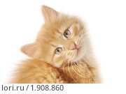 Купить «Маленький пушистый котенок сидит наклонив голову», эксклюзивное фото № 1908860, снято 22 июля 2010 г. (c) Ольга Визави / Фотобанк Лори