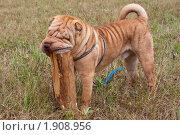 Купить «Шарпей. Китайская бойцовая собака.», фото № 1908956, снято 17 августа 2010 г. (c) Андрей Петраковский / Фотобанк Лори