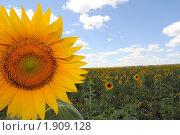Купить «Подсолнух в поле», фото № 1909128, снято 25 июля 2010 г. (c) Евгения Плешакова / Фотобанк Лори