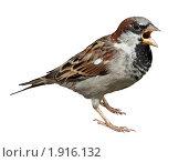 Купить «Воробей домовый чирикает, House Sparrow, Passer domesticus», фото № 1916132, снято 10 августа 2009 г. (c) Василий Вишневский / Фотобанк Лори