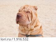 Купить «Шарпей», фото № 1916532, снято 17 августа 2010 г. (c) Андрей Петраковский / Фотобанк Лори