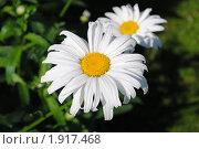 Купить «Ромашки», фото № 1917468, снято 9 июля 2010 г. (c) Евгения Плешакова / Фотобанк Лори