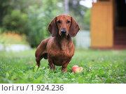 Купить «Собака породы такса в траве», эксклюзивное фото № 1924236, снято 22 августа 2010 г. (c) Яна Королёва / Фотобанк Лори