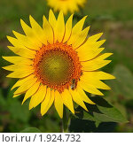 Купить «Подсолнух с сидящей пчелой», фото № 1924732, снято 1 августа 2010 г. (c) Надежда Келембет / Фотобанк Лори