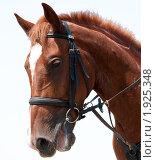 Рыжий конь. Стоковое фото, фотограф Михаил Снисаренко / Фотобанк Лори