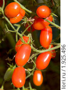 Купить «Помидоры мелкие на кусте - сорт Дамские пальчики», фото № 1925496, снято 31 июля 2010 г. (c) Jumbo / Фотобанк Лори