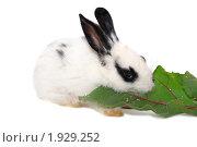 Купить «Черно-белый крольчонок ест свекольный лист», фото № 1929252, снято 6 августа 2010 г. (c) Васильева Татьяна / Фотобанк Лори