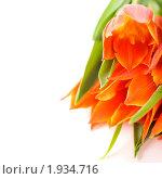 Купить «Оранжевые тюльпаны на белом фоне», фото № 1934716, снято 30 апреля 2010 г. (c) Наталия Кленова / Фотобанк Лори