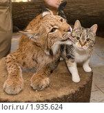 Купить «Рысь и кошка на пне», фото № 1935624, снято 14 августа 2008 г. (c) Сергей Александров / Фотобанк Лори