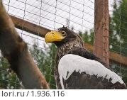 Купить «Белоплечий орлан», эксклюзивное фото № 1936116, снято 10 июля 2010 г. (c) Алёшина Оксана / Фотобанк Лори