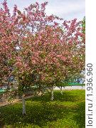 Купить «Цветущие розовые вишни», фото № 1936960, снято 6 мая 2010 г. (c) ИВА Афонская / Фотобанк Лори