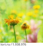 Цветущая календула, эксклюзивное фото № 1938976, снято 30 июля 2010 г. (c) Ольга Визави / Фотобанк Лори
