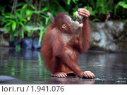 Молодой орангутан ест кокос (2010 год). Стоковое фото, фотограф Морозова Татьяна / Фотобанк Лори
