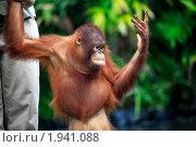 Молодой орангутан (2010 год). Стоковое фото, фотограф Морозова Татьяна / Фотобанк Лори