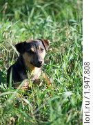 Купить «Маленькая собачка в траве», фото № 1947808, снято 28 июня 2010 г. (c) Анастасия Некрасова / Фотобанк Лори