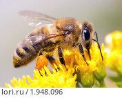 Купить «Медоносная пчела», фото № 1948096, снято 8 августа 2010 г. (c) Сергей Лаврентьев / Фотобанк Лори