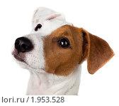 Купить «Джек-рассел терьер», фото № 1953528, снято 4 сентября 2010 г. (c) Василий Вишневский / Фотобанк Лори