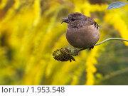 Купить «Молодая самка зяблика на цветке в саду», фото № 1953548, снято 5 сентября 2010 г. (c) Владимир Борисов / Фотобанк Лори