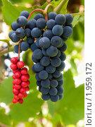 Купить «Гроздь винограда и гроздь китайского лимонника», эксклюзивное фото № 1959172, снято 4 сентября 2010 г. (c) Юрий Морозов / Фотобанк Лори