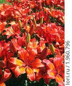 Оранжевые лилии. Стоковое фото, фотограф Омельян Светлана / Фотобанк Лори
