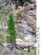 Одинокий молодой кедр на берегу горной реки. Кынгарга. Аршан. Республика Бурятия. Стоковое фото, фотограф Виктор Никитин / Фотобанк Лори