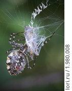 Паук с пойманным насекомым. Стоковое фото, фотограф Yury Ivanov / Фотобанк Лори