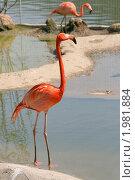 Купить «Красный фламинго на мелководье», фото № 1981884, снято 8 мая 2010 г. (c) Щеголева Ольга / Фотобанк Лори