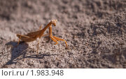 Богомол. Стоковое фото, фотограф Сергей Лукин / Фотобанк Лори