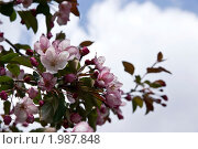 Цветущая дикая яблоня. Стоковое фото, фотограф Александр Фёдоров / Фотобанк Лори