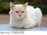 Купить «Лежащий белый кот», эксклюзивное фото № 1993076, снято 23 августа 2010 г. (c) Вячеслав Палес / Фотобанк Лори